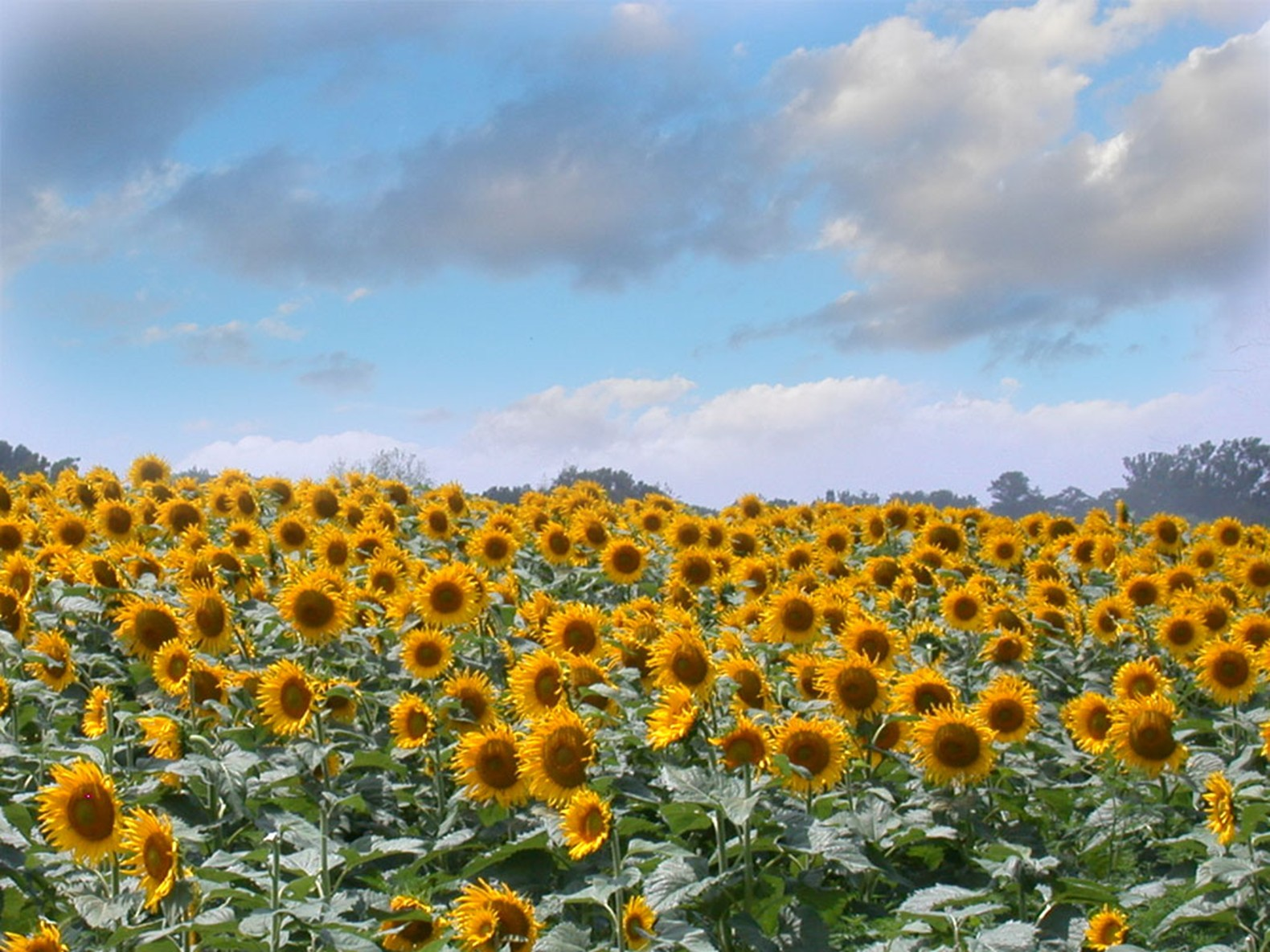 fg3-22-sunflower-field